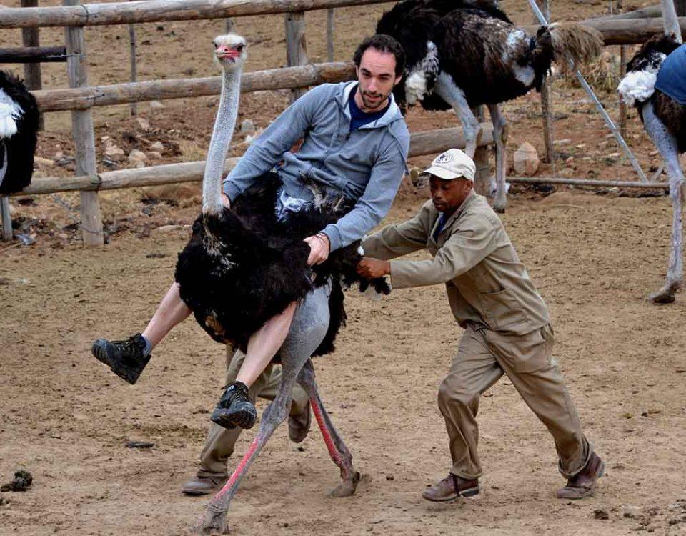 tourism ostrich